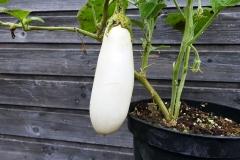 Dourga - Aubergine (BIO-Pflanze)