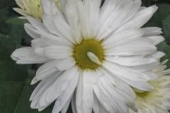 Chrysanthemum morifolium - Chinesische Tee-Chrysantheme