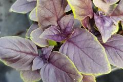 Ocimum basilicum - Rotblättriges Basilikum