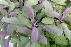 Salvia officinalis Purpurascens - Purpur-Gewürzsalbei
