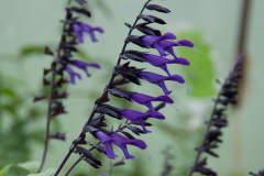 Salvia Amistad - Ziersalbei