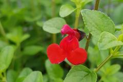 Salvia microphylla - Johannisbeer-Salbei