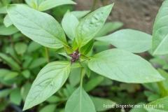 Ocimum basilicum Siam Queen - Thai-Basilikum (BIO)