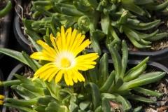 Delosperma congestum Golden Nugget - Mittagsblume
