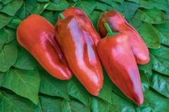 Paprika Fritz - Pflanze (BIO), Schärfegrad 0