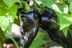 Paprika Hungarian Black - Pflanze (BIO), Schärfegrad 1-2