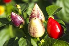 Tennessee Tear Drop (BIO-Chilipflanze) - Schärfegrad 7