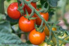 Tomate Primabella - Pflanze (BIO)