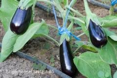 De Barbentane - Aubergine (BIO-Pflanze)