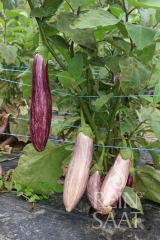 Tsakoniki - Aubergine (BIO-Pflanze)