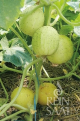Zitronengurke, Salatgurke Limona - Pflanze (BIO)