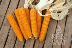 Popcorn-Mais Kremgolyo - Pflanze (BIO)