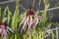 Echinacea pallida - Blasser Sonnenhut