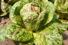 Romanasalat Forellenschluss - Pflanze (BIO)