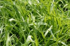 Hirschhornwegerich Herba Stella - Pflanze (BIO)