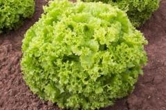 Pflücksalat Lollo Biondo - Pflanze (BIO)