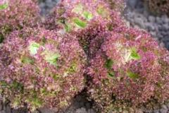 Pflücksalat Lollo Rossa - Pflanze (BIO)