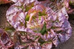 Kopfsalat Merveille des Quatre Saison - Pflanze (BIO)