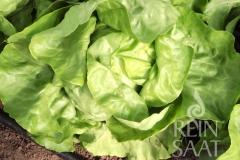 Kopfsalat Ovation - Pflanze (BIO)