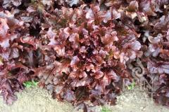 Pflücksalat/Kopfsalat Red Salat Bowl - Pflanze (BIO)