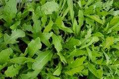 Wilde Rauke / Ausdauernder Rucola - Pflanze (BIO)