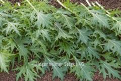 Asia-Salat Mizuna - Pflanze (BIO)