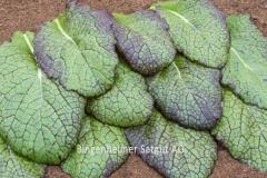 Asia-Salat Red Giant - Pflanze (BIO)