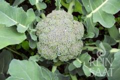 Brokkoli Ramoso calabrese - Pflanze (BIO)