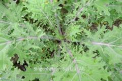 Grünkohl Red Russian Kale - Pflanze (BIO)