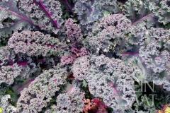 Grünkohl Rosco - Pflanze (BIO)