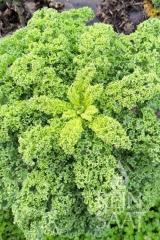 Grünkohl Westerländer Winter - Pflanze (BIO)