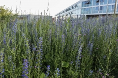 Echium vulgare - Blauer Natternkopf
