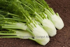 Knollenfenchel Fino - Pflanze (BIO)