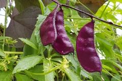 Helmbohne Ruby Moon - Pflanze (BIO)