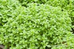 Ocimum basilicum var. minimum - Griechisches Buschbasilikum (BIO)