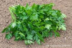 Petroselinum crispum var. neapolitanum Gigante dItalia - Italienische Petersilie (BIO)
