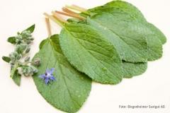Borago officinalis - Borretsch (BIO)