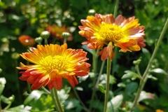 Calendula officinalis - Ringelblume (BIO)