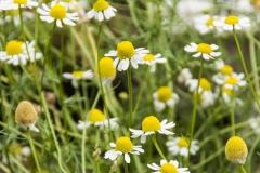 Matricaria chamomilla - Echte Kamille (BIO)