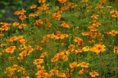 Tagetes tenuifolia Orange Gem - Gewürztagetes (BIO)