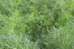 Foeniculum vulgare - Gewürz-Fenchel